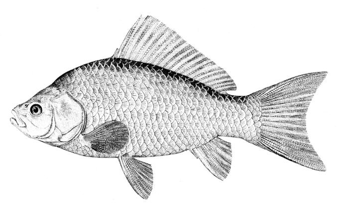 Freshwater Fishes Of Iran Species Accounts - Cyprinidae