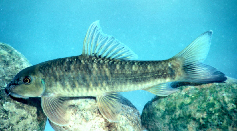 Freshwater fishes of iran species accounts cyprinidae for Garra rufa fish