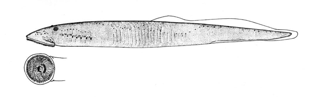 Silver Lamprey Lamproie Argente Ichthyomyzon Unicuspis Hubbs And Trautman 1937