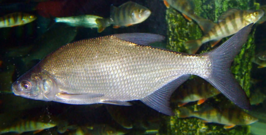 Freshwater Fishes Of Iran Species Accounts Cyprinidae