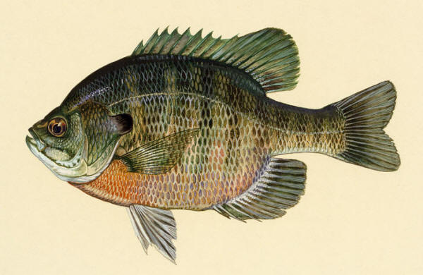 Freshwater fishes of iran species accounts gasterosteidae for Blue gill fishing